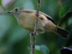 Ochre-bellied Flycatcher3
