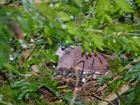 Ruddy Ground-Dove4