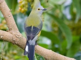 Long-tailed Silky-flycatcher2