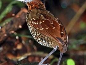 Black-crowned Antpitta3