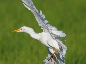 Cattle Egret4