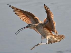 Long-billed Curlew4