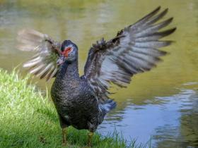 Muscovy Duck4