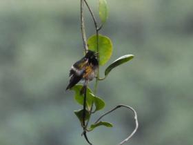 Black-crested Coquette