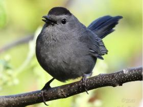 Gray Catbird4