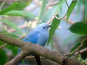 Blue-gray Tanager2