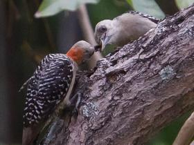 Red-crowned Woodpecker4