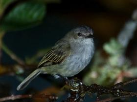 Paltry Tyrannulet3