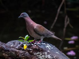Pale-vented pigeon (002)