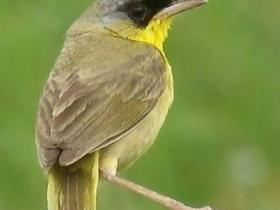 Gray-crowned Yellowthroat2