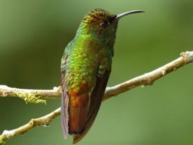 Coppery-headed Emerald2