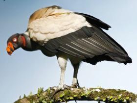King Vulture4