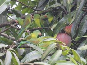 Orange-chinned Parakeet