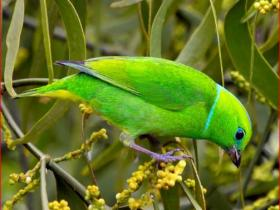 Golden-browed Chlorophonia4