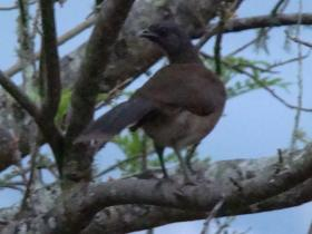 Gray-headed Chachalaca3