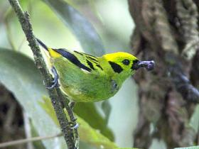 Emerald Tanager2
