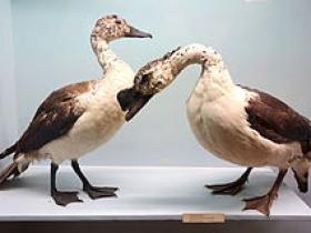 Comb Duck2