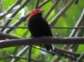 Red-capped Manakin4