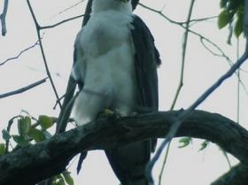 Black-and-white Hawk-Eagle2