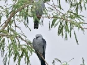 Mississippi Kite3