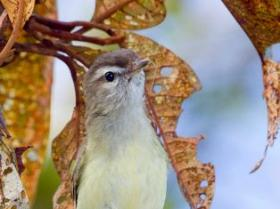 Brown-capped Vireo4