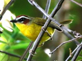Rufous-capped Warbler3