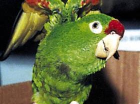 Crimson-fronted Parakeet4