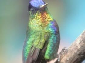 Fiery-throated Hummingbird3