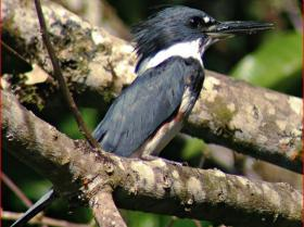 Belted Kingfisher4