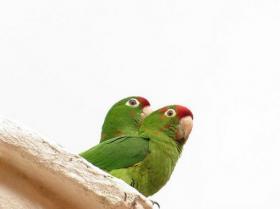 Crimson-fronted Parakeet2