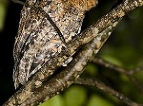Bare-shanked Screech-Owl4