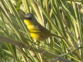 Gray-crowned Yellowthroat4