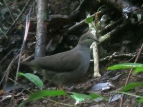 Gray-chested Dove2