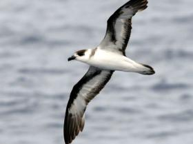 Black-capped Petrel3
