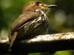 Lanceolated Monklet2