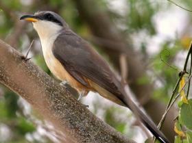 Mangrove Cuckoo4