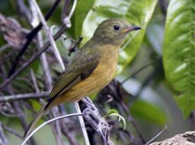 Ochre-bellied Flycatcher2
