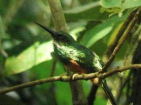 Rufous-tailed Jacamar4