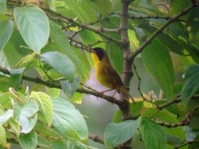 Olive-crowned Yellowthroat2