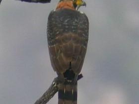 Gray-bellied Hawk4