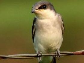Mangrove Swallow4