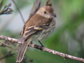 Bran-colored Flycatcher2