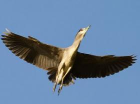 Black-crowned Night-Heron3