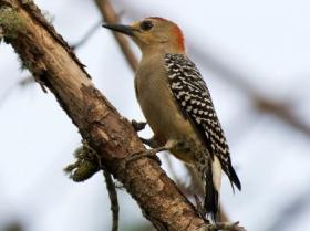 Red-crowned Woodpecker3