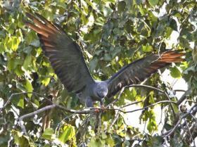 Plumbeous Kite3