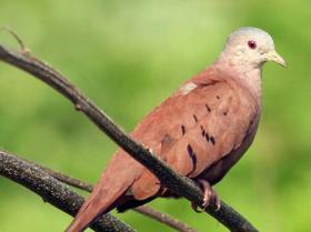 Ruddy Ground-Dove3