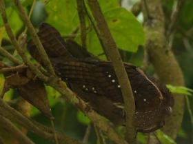 Oilbird2