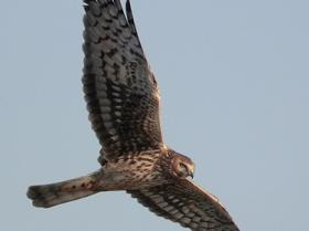 Northern Harrier4