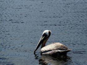 Brown Pelican3