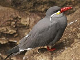 Inca Tern2